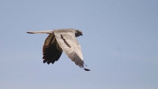 Male Montagu's Harrier  Circus pygargus